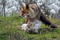 Red fox. With a catch Royalty Free Stock Photo