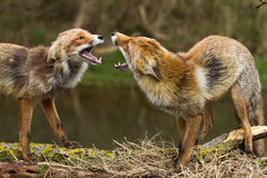 Red fox. Two Red foxes fighting scene Royalty Free Stock Image