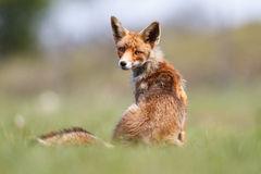 Red fox. A red fox with a blurry background Stock Photo