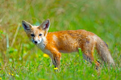 Red Fox. Standing in a field looking at camera Stock Image