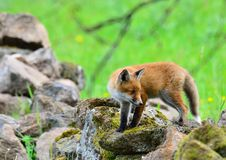 Red Fox. Exploring a drystone wall in Scotland for food Stock Photo