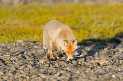 Red fox Royalty Free Stock Photos