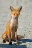 Red Fox. Kit sitting on a dirt road Royalty Free Stock Images
