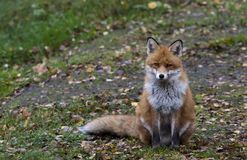 Red fox. Sitting on lawn Stock Photos