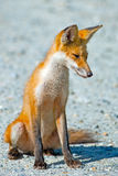 Red Fox. Kit sitting on a dirt road Royalty Free Stock Photography