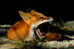 Red Fox Yawn Mouth Open Teeth. Red Fox displays its fangs and tongue while laying down and yawning on a bed of moss in Algonquin Provincial Park, Ontario stock image