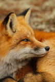 Red Fox Portrait Close Up Royalty Free Stock Photo