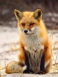 Red Fox. Of Island State Beach Park, NJ USA Royalty Free Stock Images