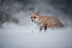 Red Fox. A female Red Fox in winter. This fox has just heard the camera shutter and is in an alert posture royalty free stock images
