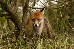 Red Fox. A Red Fox coming out of the trees Royalty Free Stock Photos