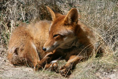 Red fox. Sleeping in the grass Royalty Free Stock Photos