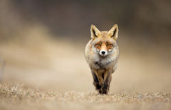 Red Fox. Walks towards me Stock Photos
