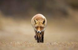 Red Fox. Walks towards me Royalty Free Stock Photography