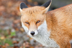 Red Fox 3 Stock Images