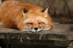 Red fox. Sleeping on a board in ecomuseum Stock Photo