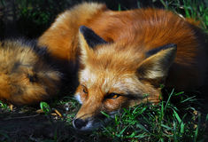 Free Red Fox Stock Images - 3348214