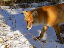 Red fox 35 Royalty Free Stock Images