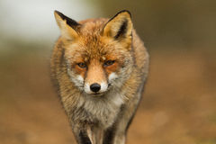 Close-up Red fox. Red fox close-up portrait Stock Photography