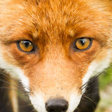 Red fox close-up. Portrait Stock Photography