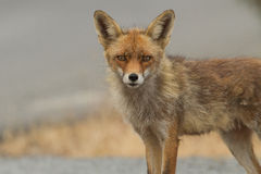 Close-up Red fox. Red fox close-up portrait Stock Image