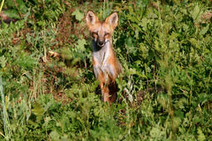 Red Fox. A beautiful red Fox with alert facial expression sitting in the bushland of Colorado and staring Royalty Free Stock Photos