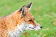 Red Fox 4 Stock Photography
