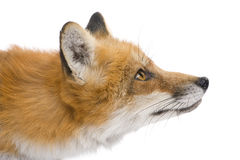 Red fox (4 years)- Vulpes vulpes Stock Photos
