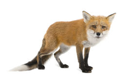 Red fox (4 years)- Vulpes vulpes Stock Photography