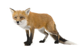 Red fox (4 years)- Vulpes vulpes Royalty Free Stock Photos