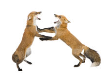 Red fox (4 years)- Vulpes vulpes. Red fox (4 years) - Vulpes vulpes in front of a white background royalty free stock photography