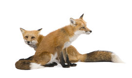 Red fox (4 years)- Vulpes vulpes. Red fox (4 years) - Vulpes vulpes in front of a white background stock photography
