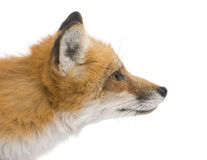 Red fox (4 years)- Vulpes vulpes Stock Image