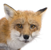 Red fox (4 years)- Vulpes vulpes. Red fox (4 years) - Vulpes vulpes in front of a white background stock images