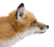Red fox (4 years)- Vulpes vulpes Stock Photo