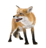 Red fox (4 years)- Vulpes vulpes Royalty Free Stock Photo