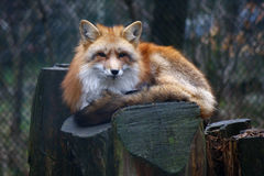 Free Red Fox Royalty Free Stock Photography - 40698247