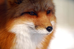 Red Fox Royalty Free Stock Image
