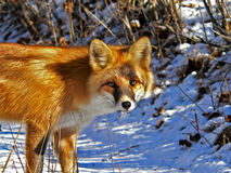 Red Fox 5. A close up of the red fox. A winter, sunny day. Russian Far East, Primorsky region Stock Image
