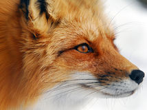 Red Fox. Close-up picture of a wild Red Fox Royalty Free Stock Image