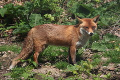 Red fox. Looking at fotograf royalty free stock images