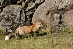 Red Fox. Standing in meadow with lichen and moss covered boulders as background Stock Photo
