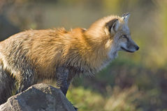 Red fox. Telephoto shot of a wet red fox Stock Photo