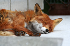 Red fox. A red fox sleeping in Tallinn zoo, Estonia Stock Photo