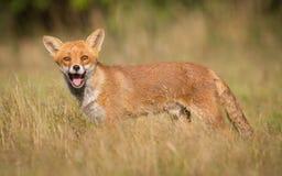 Free Red Fox Royalty Free Stock Photos - 57794998