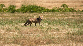 Red fox. On the prowl Royalty Free Stock Photo