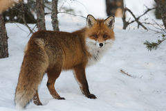 Free Red Fox Stock Photography - 67842502