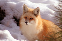 Red Fox 7. Red Fox laying in the sun on cold winter day Royalty Free Stock Photo