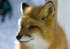 Red fox Royalty Free Stock Photography