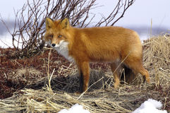Red fox. Watchful red fox in its natural habitat. Kamchatka stock photography