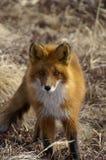 Red Fox Stock Image